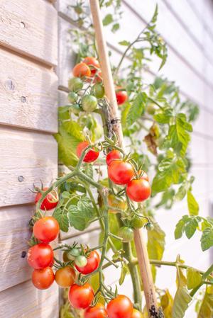 Foto: Lars Hallström  Egna tomater är något av ett måste för stadsodlaren, och de är lättare att odla än många tror medan till exempel morötter är svårare, enligt Peter Streijffert.