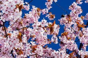 Blommande körsbärsträd.