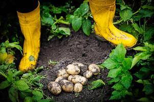 Potatis är en produkt som Jan Filipsson hoppas snart kan vara upphandlad via lokala producenter.