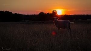 För augusti blev fåret i solnedgången vinnaren i månadens bild. Foto: Jimmy Bekkevold