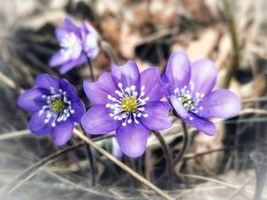 Nu blommar blåsipporna i massor vid Kärlekudden.  Foto: Helena Vähärautio Wikström