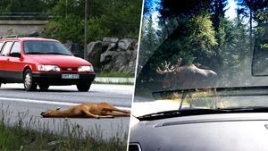 Viltolyckorna ökar i Sverige. Över 60 000 viltolyckor polisrapporterades 2017.Bild: Björn Larsson Ask/TT.