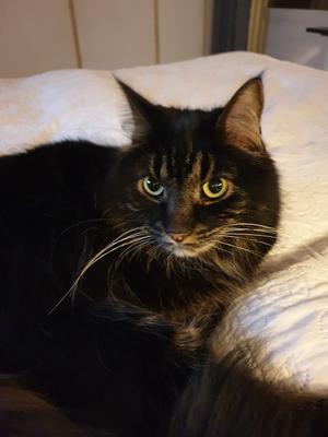 40) Picasso är en gosig och snäll katt som jag köpte på djurskyddet i Bollnäs Foto: Ellinor Winberg