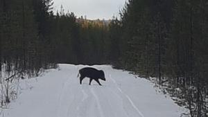 Vildsvin har setts runt Sörviken och Hedeviken flera gånger de senaste veckorna. Foto: Stefan Jonasson.
