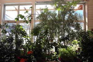 Växtkraft i orangeriet i Skattungbyn.