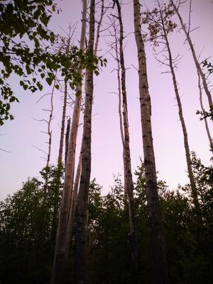 Träddunge med träden där flertalet tappat barken. Foto: Jörgen Hållberg