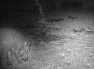 Fotobevis. En uppriggad kamera lyckades fånga svinen på bild i Gunlög Eliassons och Anders Bjernelds trädgård.Foto: Privat