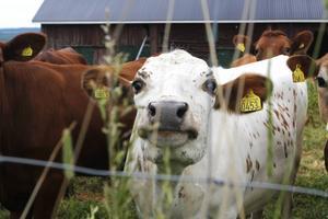 Varmt och blött om vartannat ger glada kor och nöjda lantbrukare. Den optimala tidpunkten för att börja med första vallskörden 2014 var upp till två veckor tidigare än normalt och om det fortsätter så här kommer skörd två och tre att bli mycket fina.