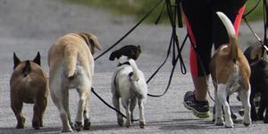 Arkivbild: Scanpix. Hundarna på bilden har ingen direkt koppling med det aktuella sjukdomsutbrottet.