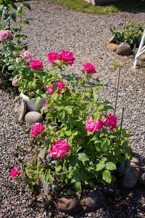 Rosor i Anitas trädgård.