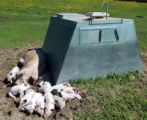 Hyddorna har lutande väggar som innebär att risken minskas för att smågrisarna ska kvävas under suggan.