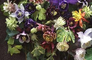 Aklejor i alla färger. Rara växter säljer 'Alchemist´s Gold´som dessutom har ett vackert brokbladigt bladverk.Foto: Rara växter