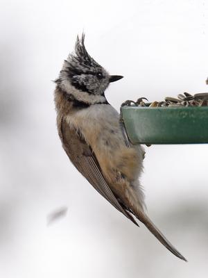 När hösten kommer, hittar även tofsmesar till fåglarnas matningsstället.