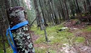 Fornlämningar, i det här fallet grunden till ett av husen på området, har markerats med höga stubbar för att ge en signal till skogsarbetare i framtiden att ta det försiktigt med sina maskiner.