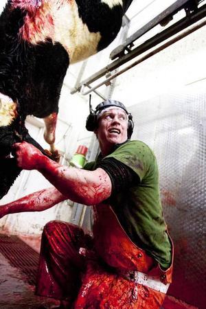 Två dagar i veckan slaktas nötkreatur på Jämtlandsgården. Antalet slaktade djur ökade med hela 15 procent under 2013. Som förste man i slaktkedjan har Daniel Eriksson det mest blodiga arbetet för dagen.