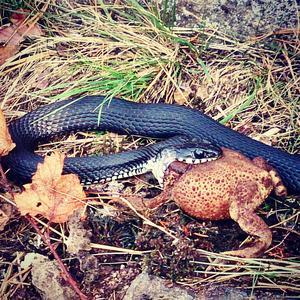 Svart huggorm som festar på en padda. Dock kom naturfotografen lite för nära och ormen miste stycket. Ormen blev sur och ringlade iväg. Paddan lämnades kvar. Paddan levde, om än mycket omtumlad o lite tilltufsad. Troligtvis ringlade ormen tillbaka, en sån godbit som paddan ger man väl inte upp i första taget!