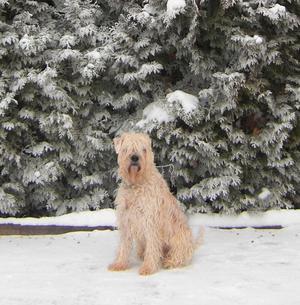 Tarzan är en pigg och glad Wheaten Terrier som älskar snön.