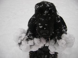 Det här är vårt busfrö Ronja 5 år. Här har hon busat med lill-husse Elias på tomten. Hon älskar snö, men det kan vara jobbigt med kramsnö om man är en cocker spaniel. Lika stora snöbollar fastnade på hela magen. Ronja fick ta en varm dusch efter den här lekstunden. Jag passade på att ta en bild innan hon fick gå in i värmen.