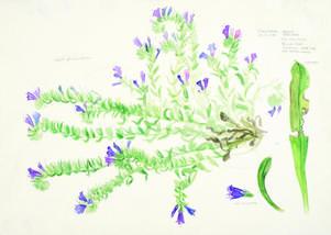 På 1970-talet gjorde Cecilia Edefalk akvareller till en strandflora som aldrig blev utgiven. Pressbild.