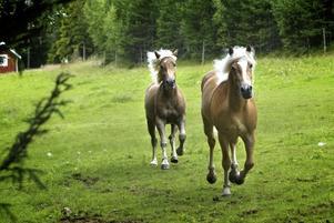 Trivs. Haflingerhästarna är från början bergshästar, så omgivningarna vid Skattlösberg passar dem bra. Här är det lillkillen Winterspitz och Nachtmann som sätter fart. Foto:Karin Rickardsson