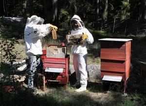 Vresiga bin. − Är det inte fint väder är bina rätt mordiska, säger biodlaren Fernando Öhman.