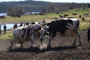 Pigga och glada kor fick komma ut på grönbete.