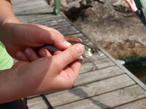 Linus Karlefur var en mycket stolt fiskare när han fick denna fina abborre på sitt spö. Naturligtvis fick den simma vidare för att växa till sig.