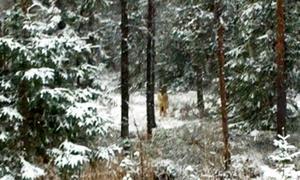 Den viktiga finskryska vargen fångad på bild