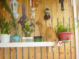Det är sommar också för en innekatt och man trivs bra och luktar blommorna som Ferdinand under korkeken........!