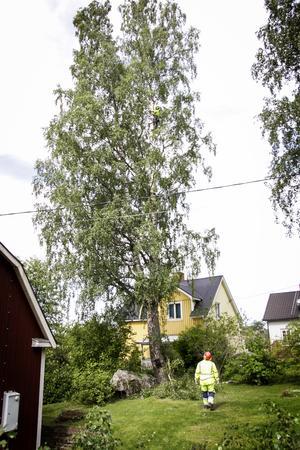 Det går inte att vara höjdrädd om man ska arbeta som arborist. På det här uppdraget har Victor van Deuren hjälp av Vidar Nilsson på marken.
