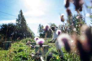 Nästan exakt 50000 bin samsas i varje bikupa, men bin är smarta och har byggt en väl fungerande samhällsordning. Torbjörn Öhrström sköter bina som om de  vore hans egna barn.