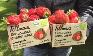 Tillmans har redan avslutat årets jordgubbssäsong. Förra sommarens torka kan vara en möjlig förklaring till att årets skörd blev sämre än förväntat.