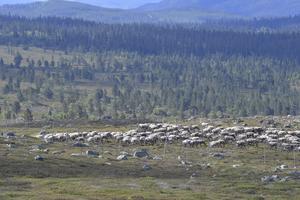 Morgonens märkning avslutas och djuren får vila upp sig innan de som ännu inte märkts får sin renmärken. Därefter väntar nästa grupp renar.