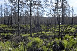 Grönskan återvänder och många träd står kvar och har klarat brandinfernot för ett år sedan.