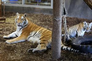 Sibirisk tiger är den största tigerarten.