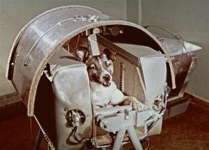 Laika, den första levande varelse som företog en resa i rymden. Det skedde i november 1957. Foto: TT
