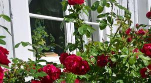 Härliga rosor på Karlfeldtgården i Karlbo. Foto: Karlfeldgården
