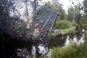 I en rapport från Havs- och vattenmyndigheten står det att priset på flodkräftor är minst dubbelt så högt som för signalkräftor, och att introduktionen av signalkräftan därför varje år kostar hundratalsmiljoner i förlorat fiske i Sverige.