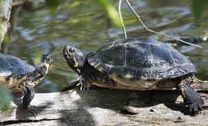 Mats Andersson träffade på dessa två sköldpaddor när han promenerade längs viken vid Kokpunkten. Det har under flera år rapporterats om att en eller flera sköldpaddor har synts till där. Nu fick han se dem med egna ögon och dessutom tillfälle att fotografera dem.