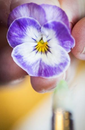 Kanderade penséer är pyssliga att göra men blir både vackra att se på och goda att äta. Pensla med uppvispad äggvita och doppa blommorna i strösocker och låt dem torka.