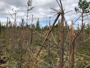 Tallskogen är totalt förstörd av älgar. Foto: Anna Marntell