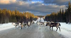 Renarna går inte över vägen, vägen går över skogen. Länsväg 335 mellan Sollefteå och Örnsköldsvik.