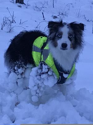 Om bilden: Den 7:e februari pulsade Plex (miniature american shepherd) och jag i mtb-spåret i Skultuna. Dom synes var det kramsnö Foto: Gunnel Helgsten