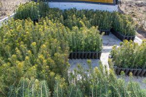 Plantor för plantsättning, gran- och tallplantor.