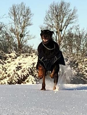 Om bilden: Kirra är en dobermantjej på 7.5 år från Bosnien. Bilden togs den ända dagen som vi hade vinter här med 10 cm snö och sol. Glädjen var total när hon fick springa fritt med sin lilla kompis Prime. Foto: Dennis