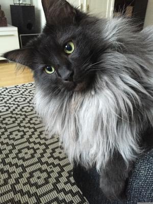 510) S*Sannafjällets Luzifer han är en Norsk skogskatt. Han heter Luzifer en stor kattpojk som är världens goaste och sååå  snäll. Foto Malin Nirs Foto: Malin Nirs