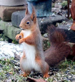 Ska titta om hon lagt ut några hasselnötter till mig, tänker ekorren. Monica Litz fotade.