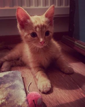 155) Buskatten Felix.Här har han nyss flyttat hem till oss.Idag är han drygt ett år och älskar att busa med vår andra katt. Foto: Sofia Brendt