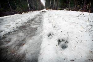 Det finns spår efter flera hundar som rört sig efter skogsvägen norr om Önsta.