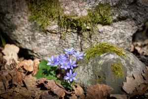Hedersomnämnande. Blåsippor på Högmarsö. Blåsippan har varit den mest vanliga blomman bland de inskickade bilderna till tävlingen. Det här var en av de bästa. Foto: Gunnela Blomqvist